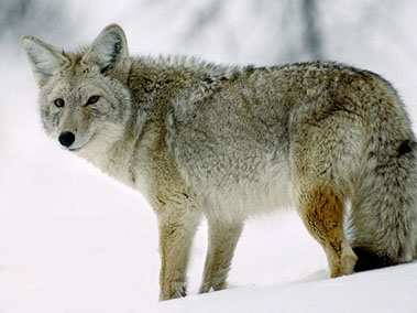 Coyote Management Program